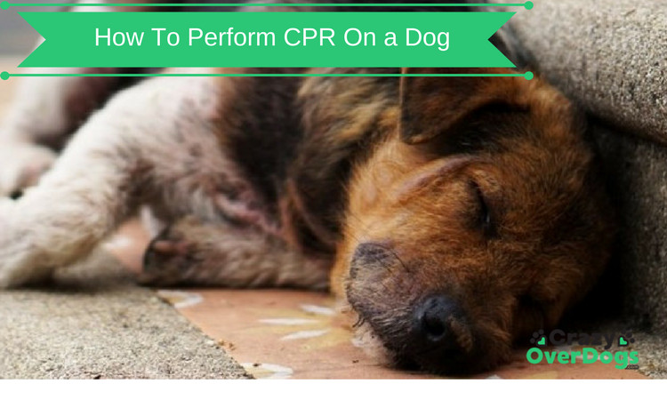 How To Perform CPR On a Dog - Saving Your Dog's Life