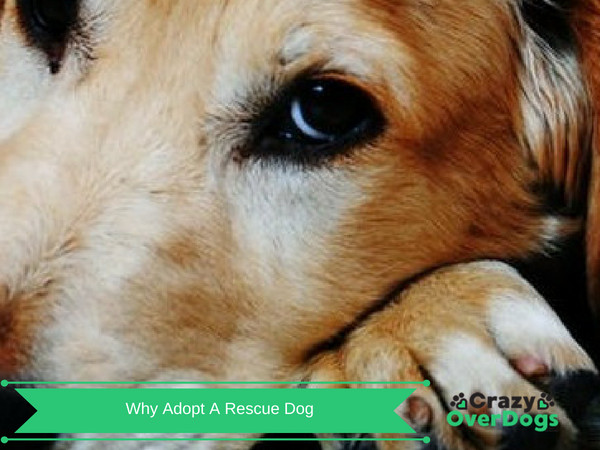 Why Adopt a Rescue Dog - 7 Reasons Why You Should
