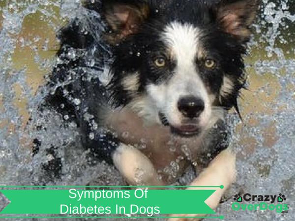 Symptoms of Diabetes In Dogs
