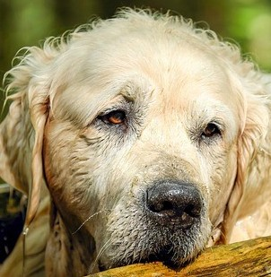 What Are The Signs Of Ageing In Senior Dogs