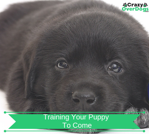 Training Your Puppy To Come