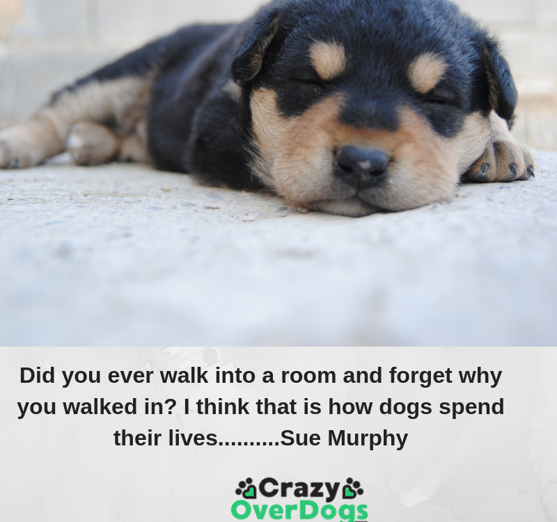 Did you ever walk into a room and forget why you walked in? I think that is how dogs spend their lives..........Sue Murphy
