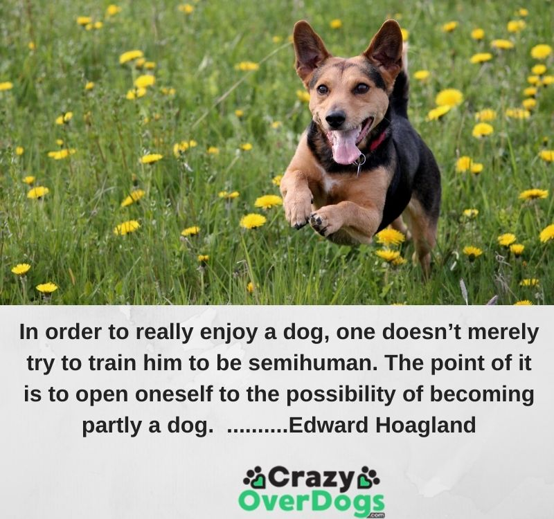 In order to really enjoy a dog, one doesn't merely try to train him to be semihuman. The point of it is to open oneself to the possibility of becoming partly a dog. ..........Edward Hoagland