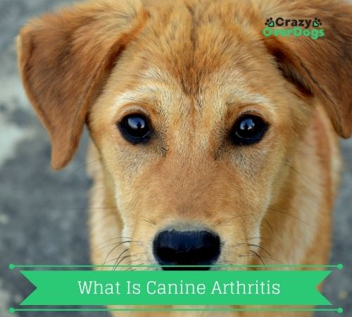 What Is Canine Arthritis