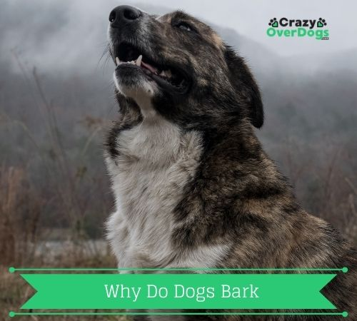 Why Do Dogs Bark