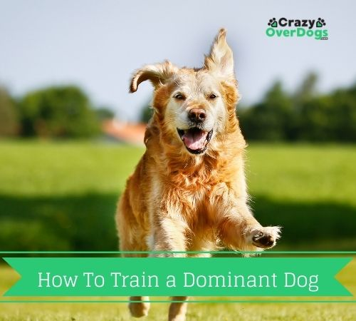 How To Train a Dominant Dog