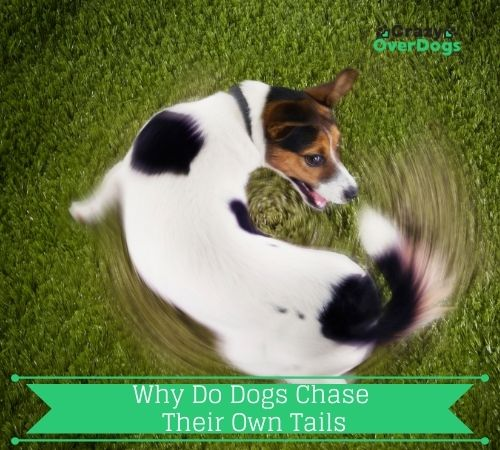 Why Do Dogs Chase Their Own Tails