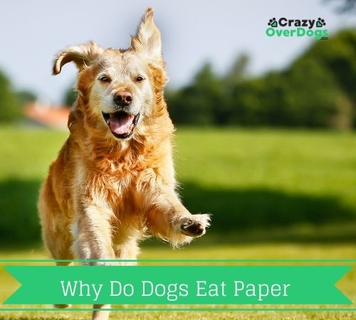 why do dogs eat paper